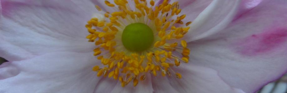 anemonen3